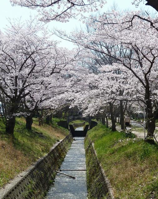 00777桜