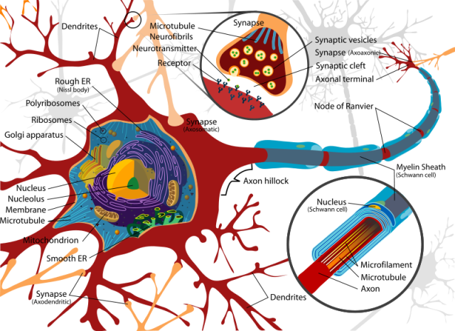 800px-Complete_neuron_cell_diagram_en_svg.png