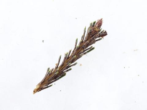 ムサ食痕松葉141221-1