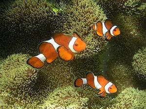 800px-Ocellaris_clownfish.jpg