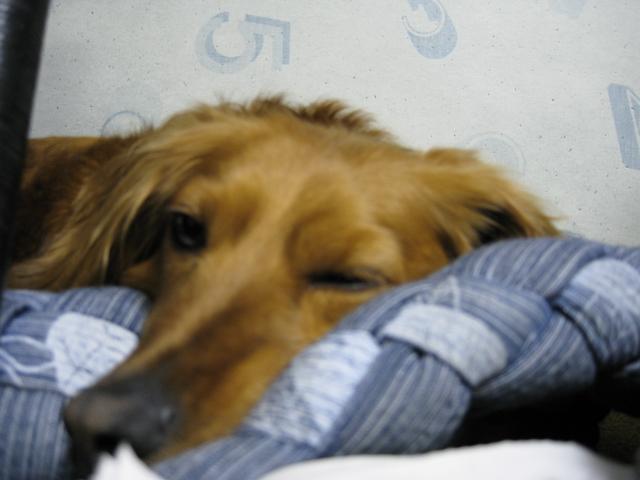 やる気のない犬