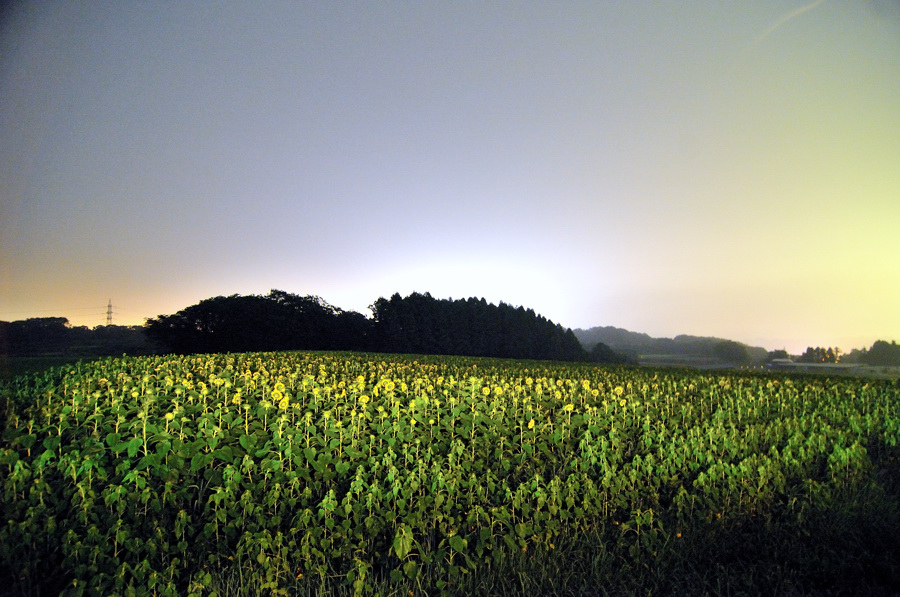曇りのヒマワリ畑