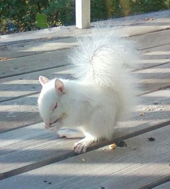 albinosquirrel1.jpg