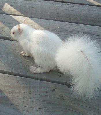 albinosquirrel2.jpg