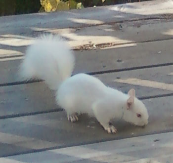 albinosquirrel3.jpg