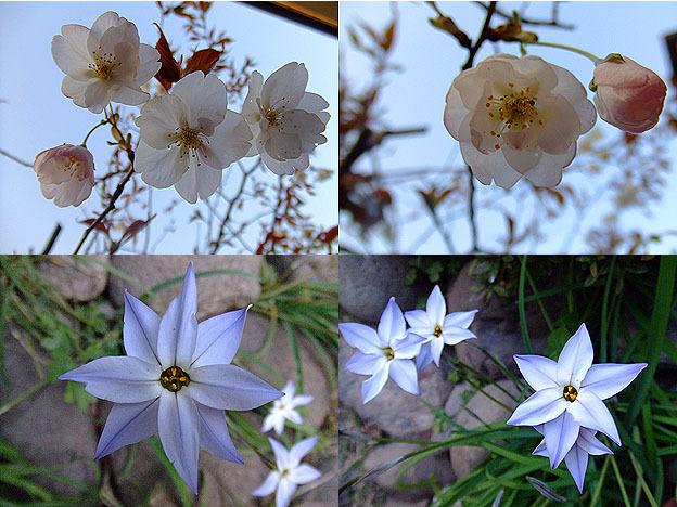 雪麿Lounge-桜