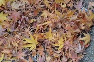 岡崎公園 紅葉