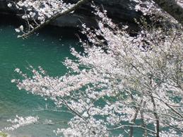 奥三河地区的樱花