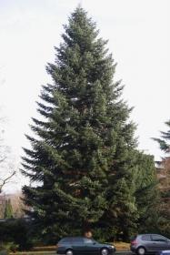 weisstannenbaum.jpg