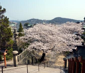 西国寺の桜03