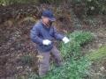 盆ざるの材料となる「竹の枝」を採っています。