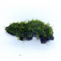 南米ウイローモス流木Sサイズ