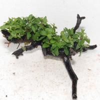 水草付き流木2