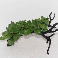 水草付き流木1