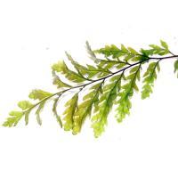 ボルビの葉