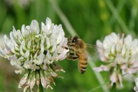 110603 ミツバチ