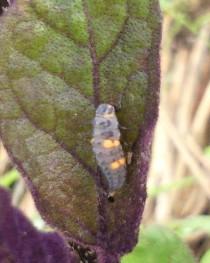 110604 ナナホシ幼虫