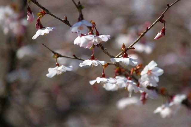 可愛らしい桜が・・・