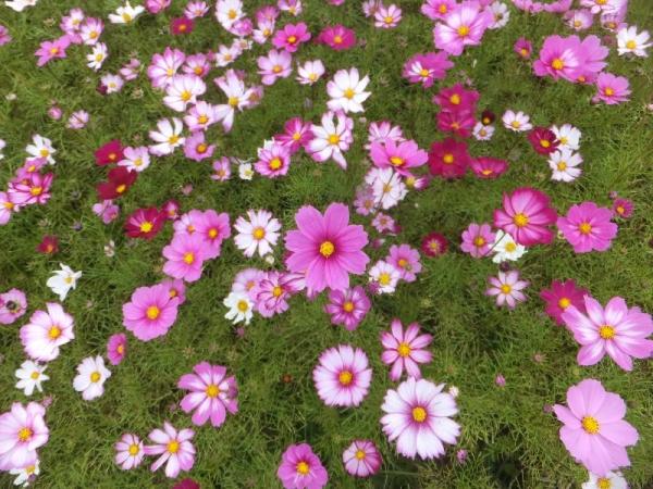 FujiwarakyuusekiCosmos_003_org.jpg