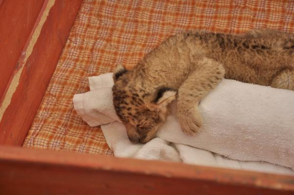 ライオン寝る