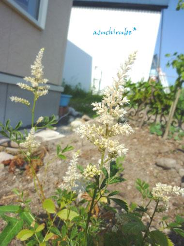 アスチルベ開花