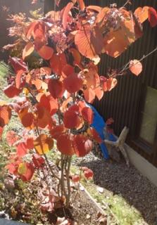 201410 オオカメノキの紅葉