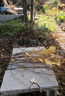 201410 桂の剪定 切った枝