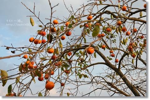 柿とり 028