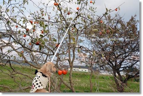 柿とり 043