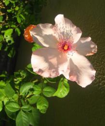 autumn rose 4