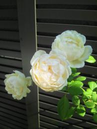 autumn rose 2