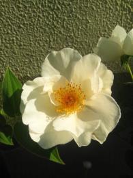 autumn rose 1