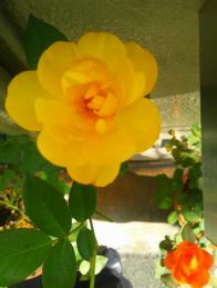 autumn rose 5
