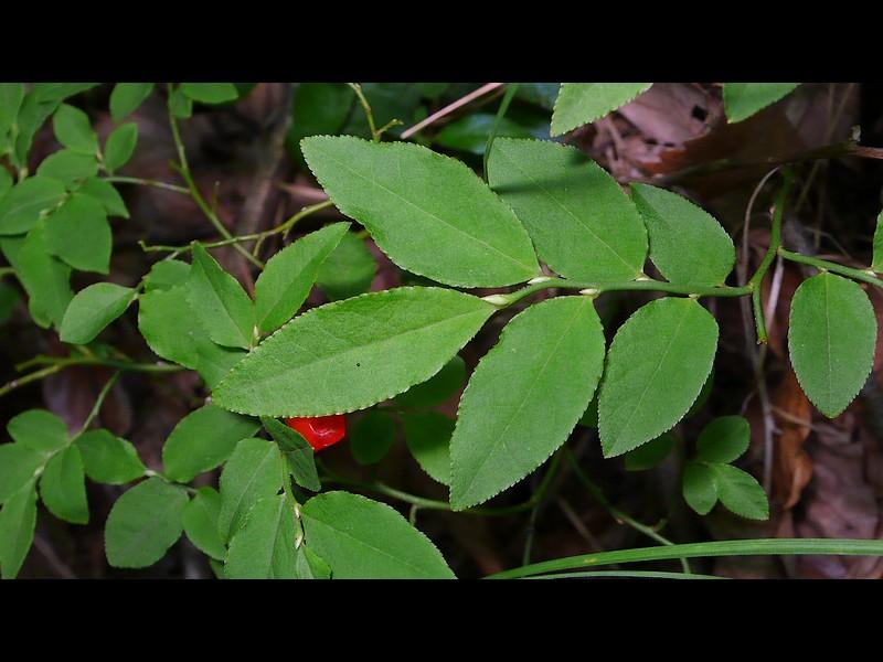 ウスノキ 果実期の葉