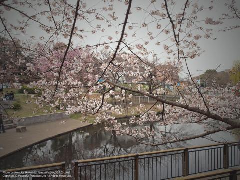 岸根公園の桜