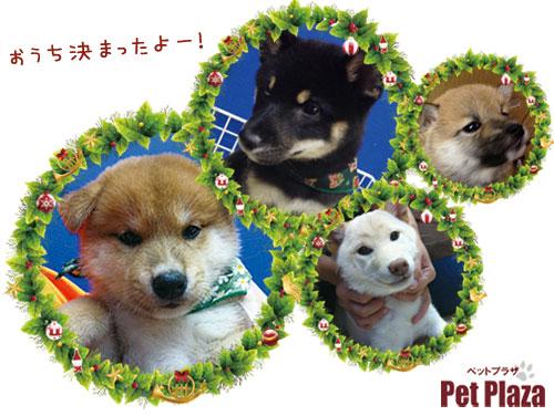 柴犬201312