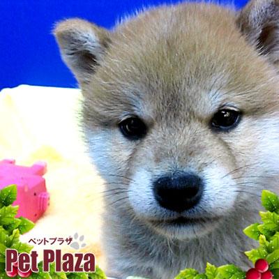 柴犬20131023-1