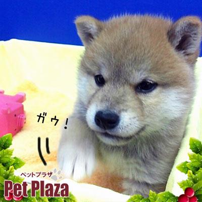 柴犬20131023-2