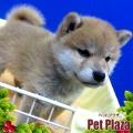 柴犬20131023-3