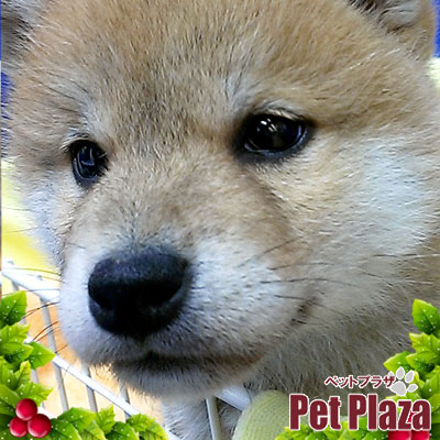 柴犬20131023-4