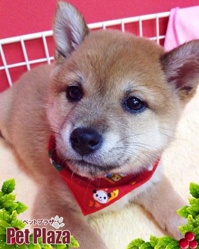 柴犬20131024-1