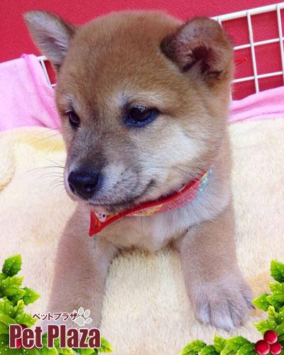柴犬20131024-2