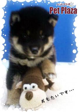 柴犬20131031-2