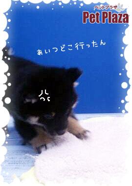 柴犬20131031-3