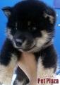 柴犬20131031-4