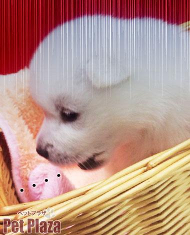 紀州犬がっくり顔
