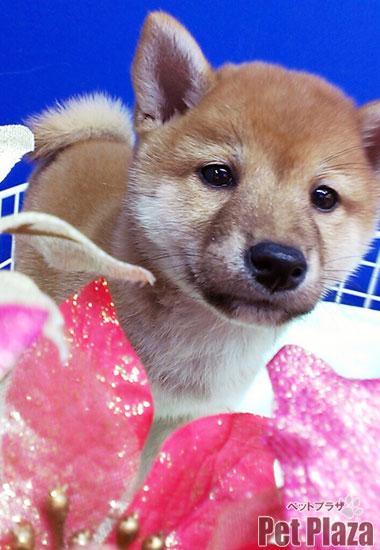 柴犬20140928-1