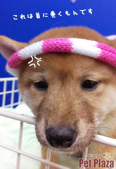 柴犬20140928-4