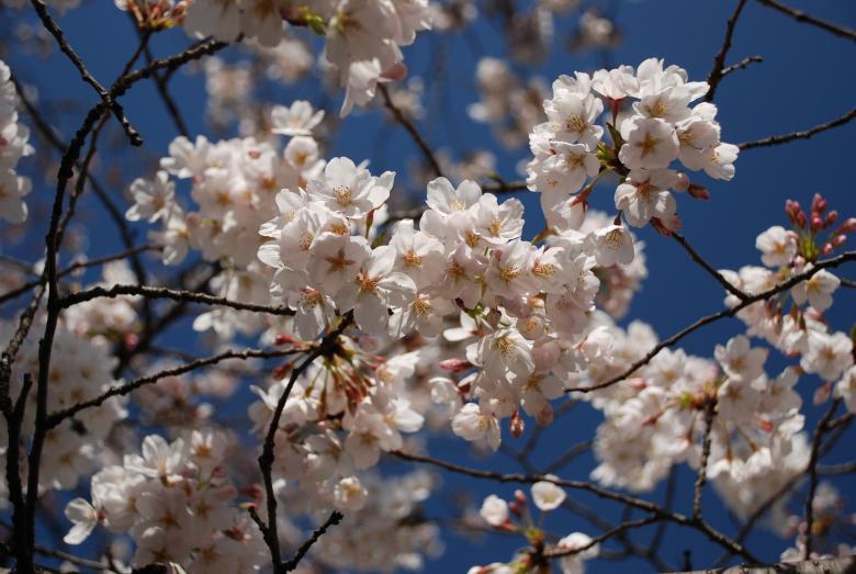 下馬の桜PLF