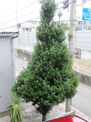 月桂樹が大きくなった